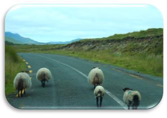connemara_sheep