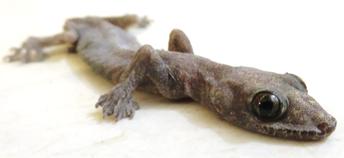 faune_gecko1