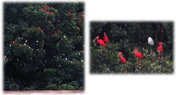faune_ibis