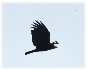 faune_vautour