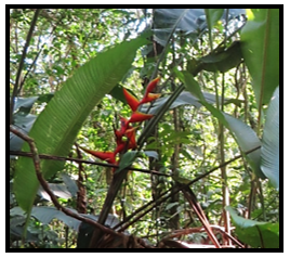 flore_heliconia