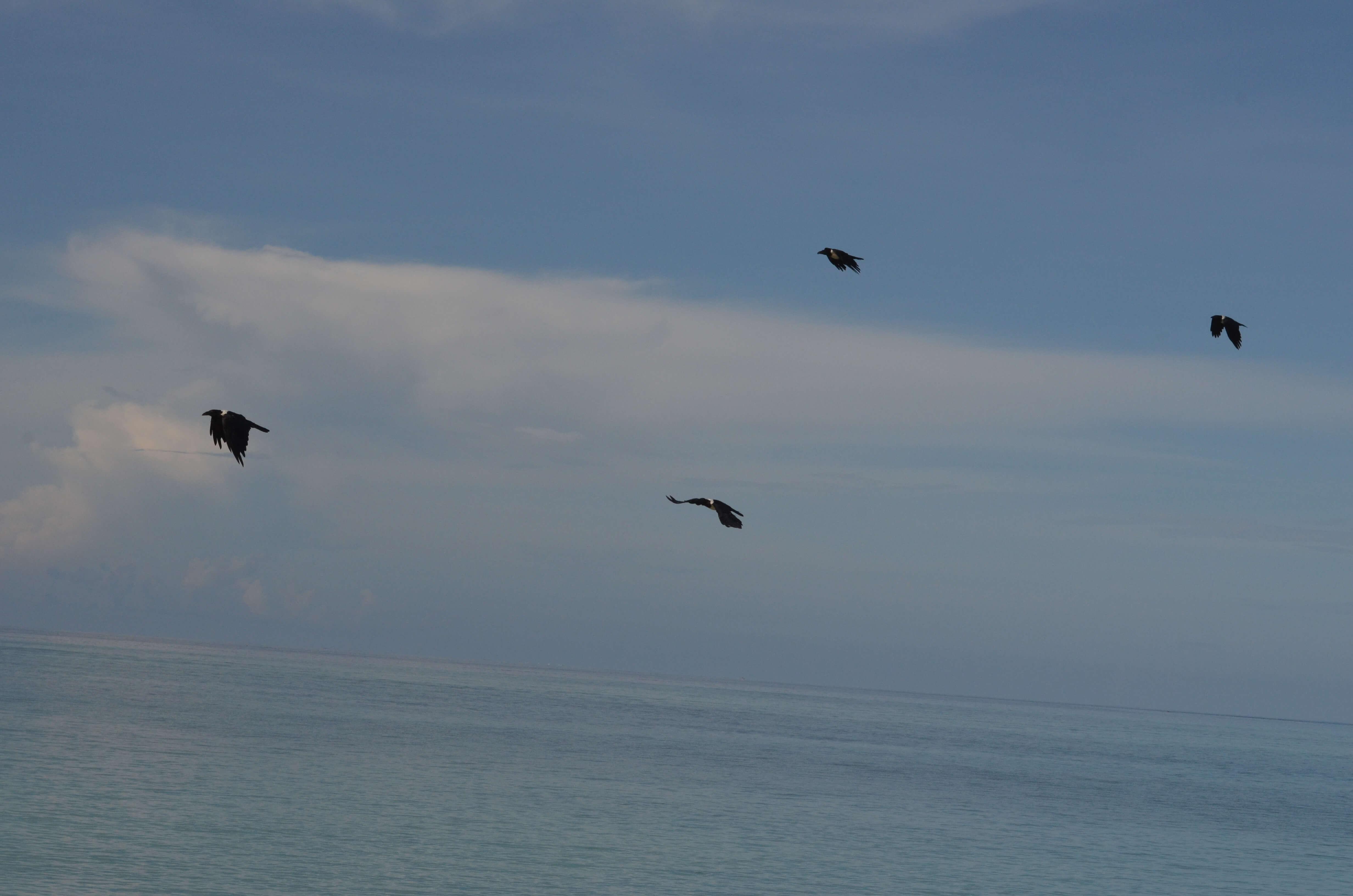 corbeau-pie