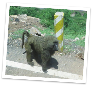 road_ape