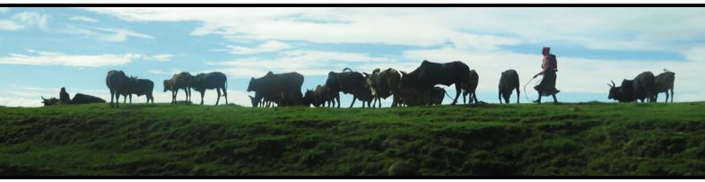 road_cows