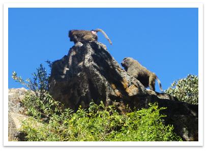 alemsaga_baboons