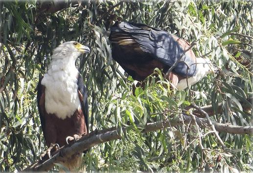 bd_eagle