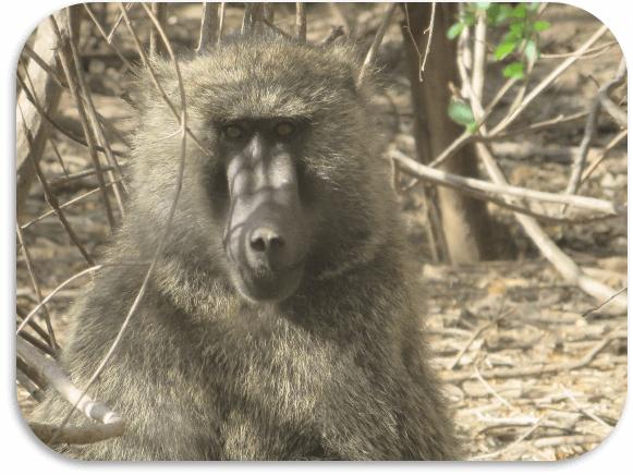 east_baboon