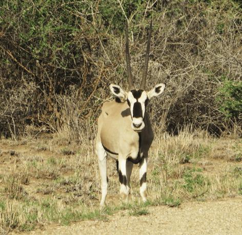 east_oryx