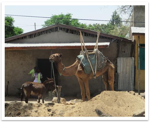 harar_camel