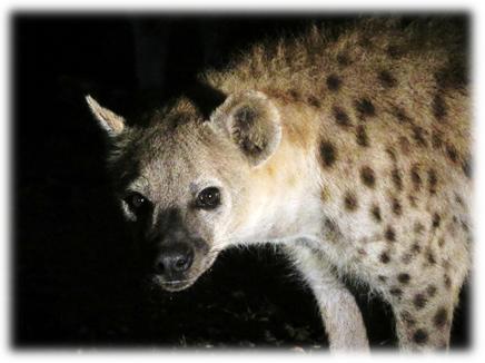 harar_hyena