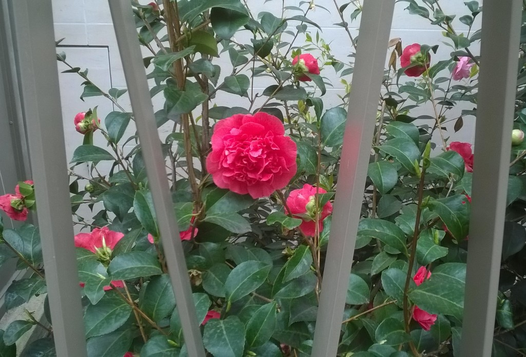 Rose_grille